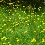 mountain dandelion